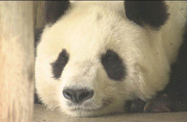 パンダ「旦旦」中国に帰郷へ 神戸市立王子動物園の人気者
