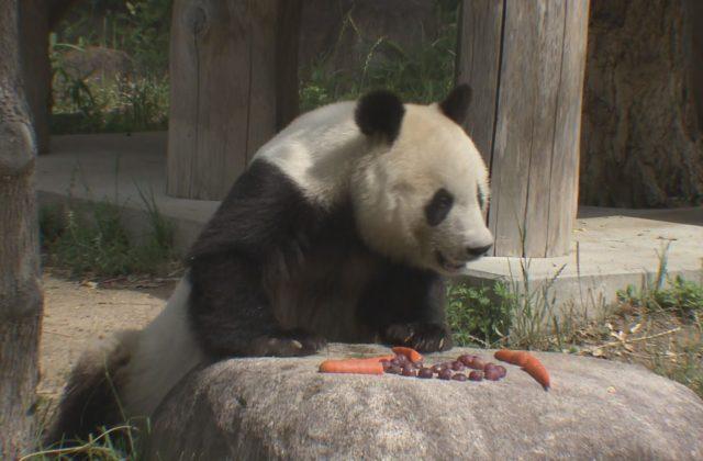神戸市立王子動物園が営業再開 パンダのタンタンにお別れ/兵庫県
