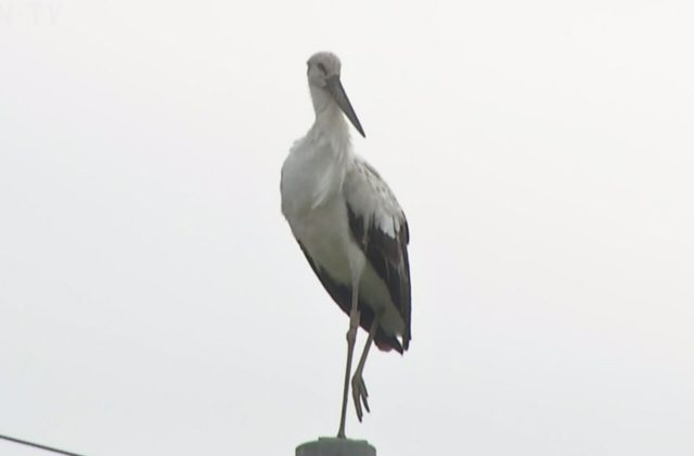 コウノトリが洲本市に飛来 国の特別天然記念物